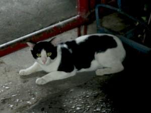 バンコクの猫